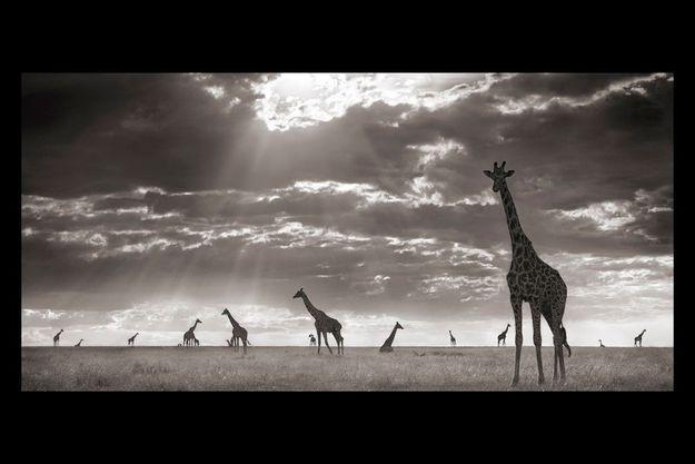 Twiga. Girafes dans la lumière du soir, Masai Mara, 2006.