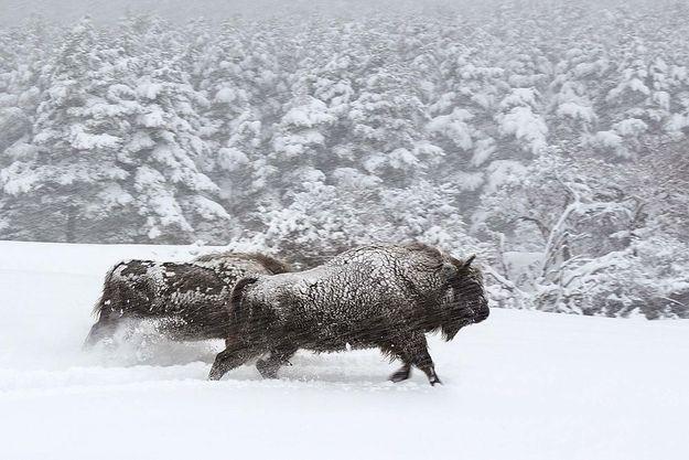 Des bisons bravent la tempête.
