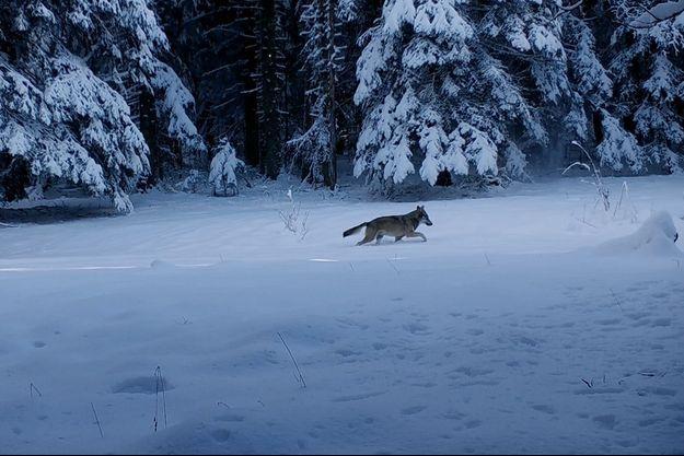 Capture d'écran d'un loup dans le film.
