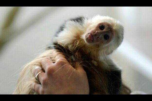 Mally, le singe de compagnie de Justin Bieber, a été confisqué par les douanes de Munich.