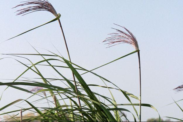 Avec l'herbe miscanthus, le plastique c'est fantastique !