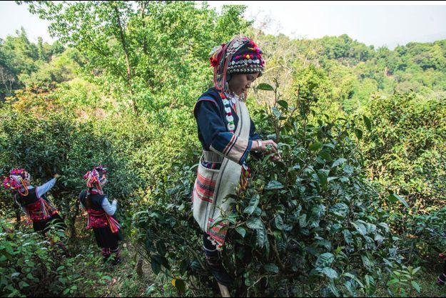 La cueillette des feuilles de thé de à Ganggang.