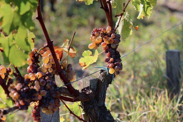 """Sur les grains de raisin, le botrytis ou """"pourriture noble"""". Fléau pour tous les vignobles du monde, à Sauternes il donne de l'or."""