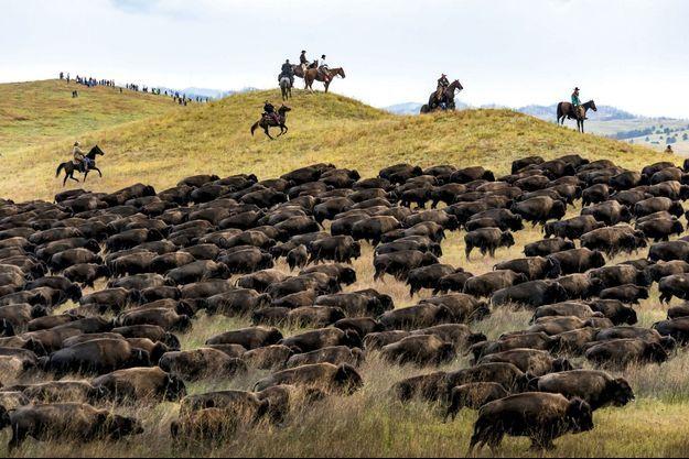 Far West : tête-à-tête avec les bisons