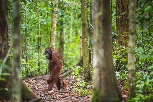 Un orang-outan dans le Parc national de Gunung Leuser, à Sumatra (Indonésie).