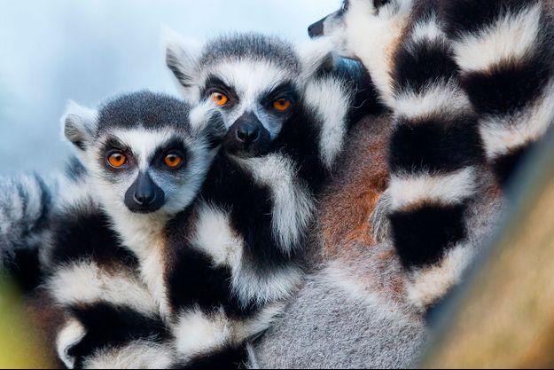 Les lémuriens, animaux endémiques de Madagascar.
