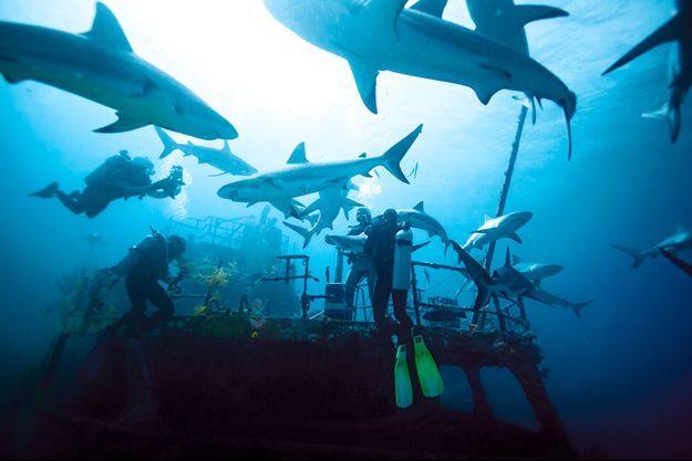 A 20 mètres de profondeur, des requins citrons et de récif tournoient autour d'une épave et tout près de nos reporters.