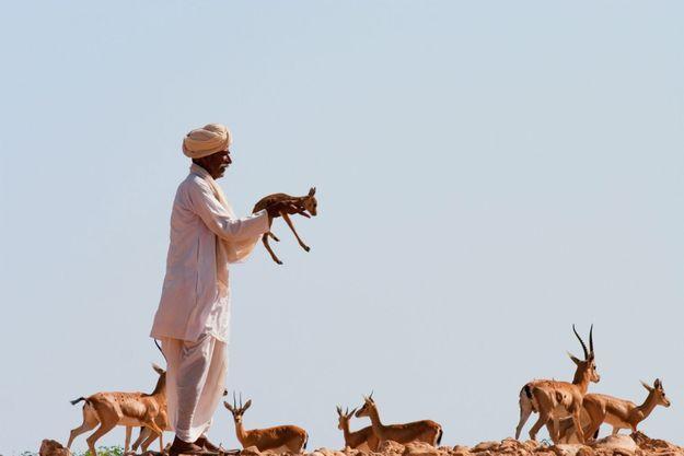 Les Bishnoïs considèrent les animaux comme des membres de leur famille. Ici, un faon orphelin est présenté aux gazelles pour qu'elles l'adoptent.