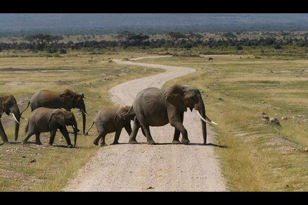 Au Kenya, dans le parc d'Amboseli au pied du Kilimandjaro.