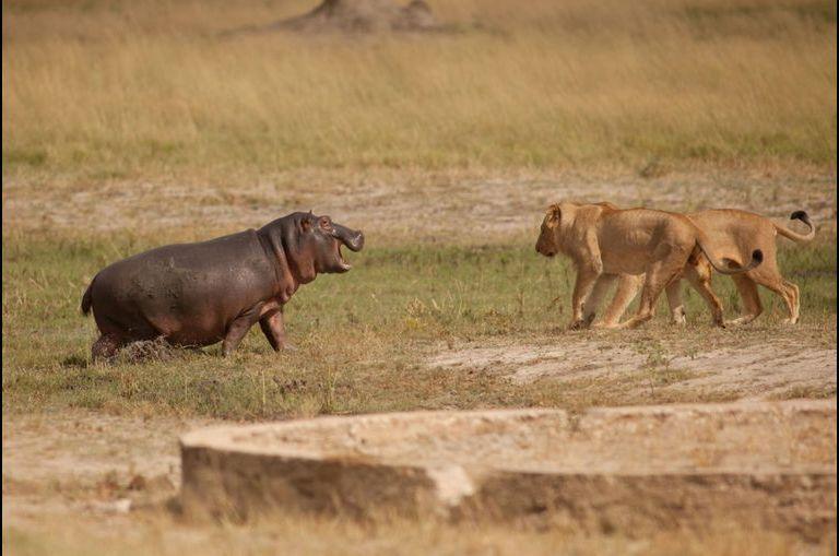 L'hippopotame fait fuir les jeunes lions
