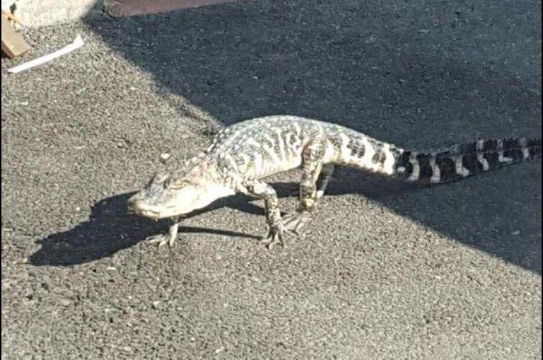 L'alligator de Manhattan