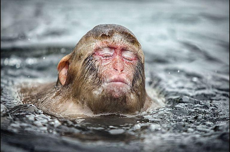 Bain au calme pour les macaques japonais