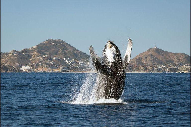 Le salut de la baleine à bosse