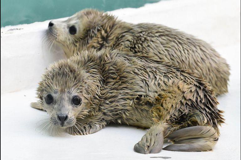 Les phoques jumeaux de Dalian