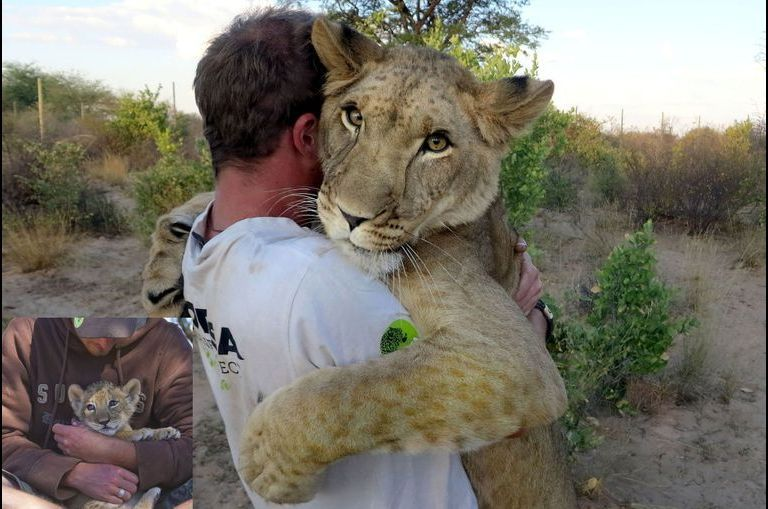 Sirga, la lionçonne adoptée