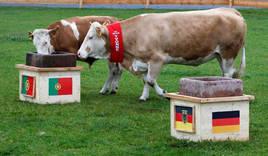 Yvonne la vache allemande et son fils Orki sont chargés de pronostiquer les matchs de l'euro 2012 qui s'ouvre ce soir en Ukraine. Ils ont annoncé le Portugal gagnant pour sa première rencontre contre l'Allemagne.