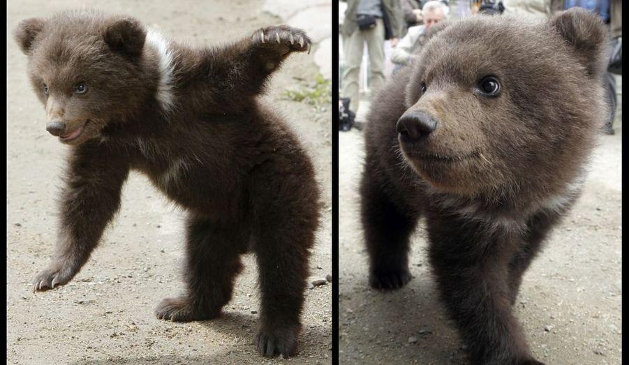 Ce petit ourson de trois mois s'amuse devant les photographes au zoo de la ville de Stavropol, dans le sud de la Russie. Le bébé de Baloo, le père âgé de six ans, et de Margo, seize ans, n'a pas encore de nom.