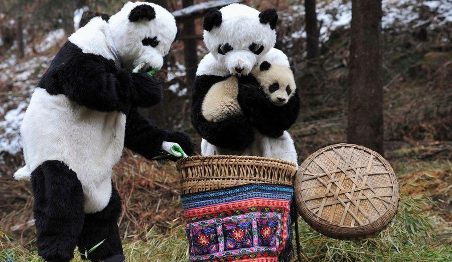 Des chercheurs chinois se sont déguisés en panda pour pouvoir attraper l'animal, encore bébé, pour l'emmener dans un nouvel environnement, un centre préservé dans le Sichuan.