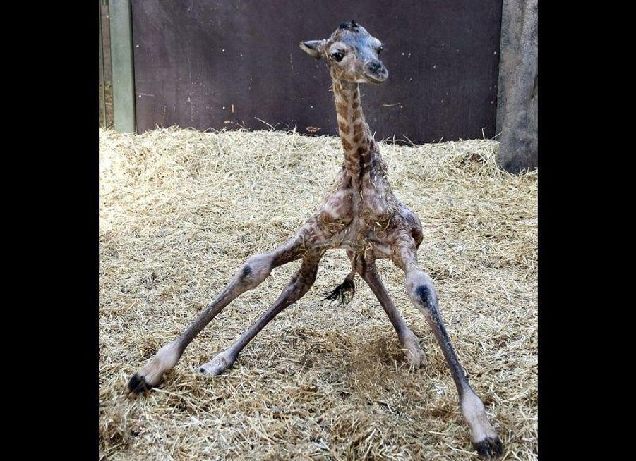 Des débuts difficiles pour ce jeune girafon, du zoo Aalborg au Danemark. Il tente tant bien que mal de se mettre debout.