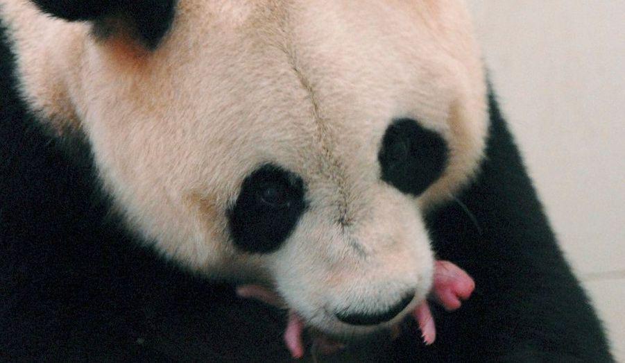 Le panda Ju Xiao tient son petit dans sa bouche. La naissance s'est déroulée au centre d'élevage de Bifengxia à Yann, dans la province du Sichuan (sud-ouest de la Chine).