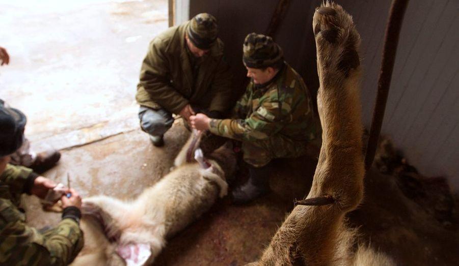 Sur la photo, des chasseurs dépècent des loups, en Biélorussie. Toute l'année, des loups, des renards et d'autres espèces sont victimes du braconnage dans ce pays.