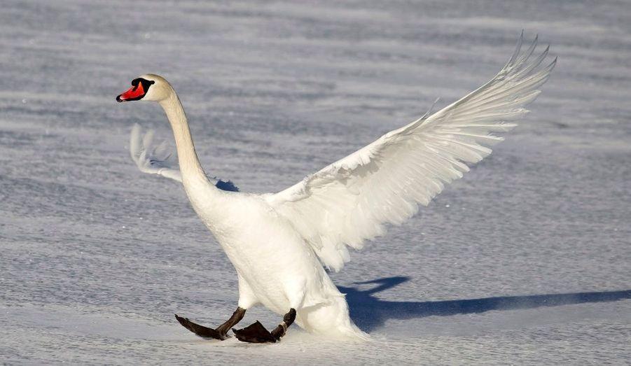 Ce cygne réussit un atterrissage tout en douceur, sur un lac gelé de Minsk, par une température de moins dix-huit degrés.