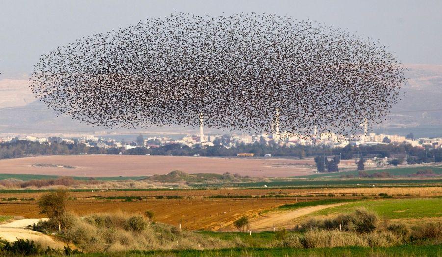 Un vol d'étourneaux au-dessus d'un champ, près de la ville israélienne de Netivot.