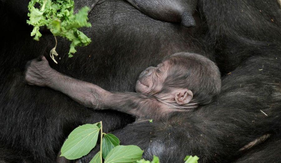 Le bébé-gorille, Kipenzi, tout juste âgé de dix jours embrasse tendrement sa mère, Kriba, au Taronga Zoo de Sydney, en Australie.