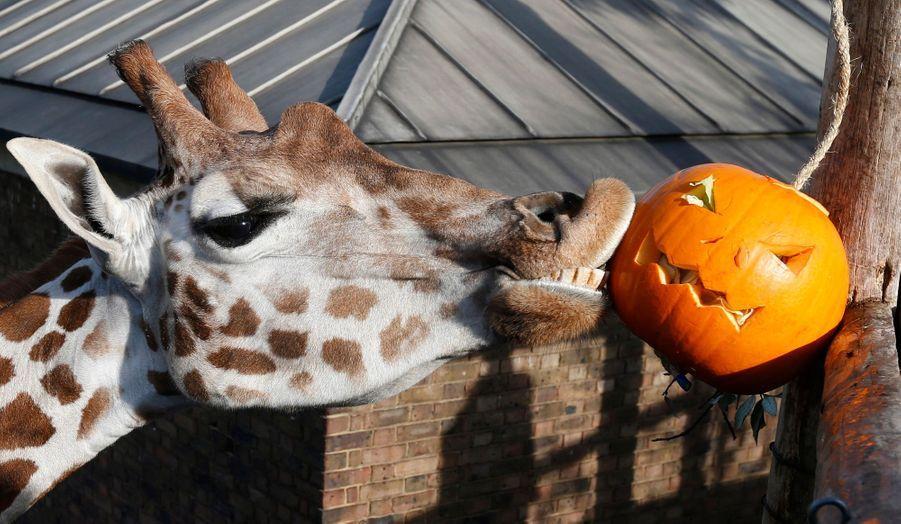 Une girafe du zoo de Londres ne semble pas avoir peur de la citrouille découpée installée dans son enclos.