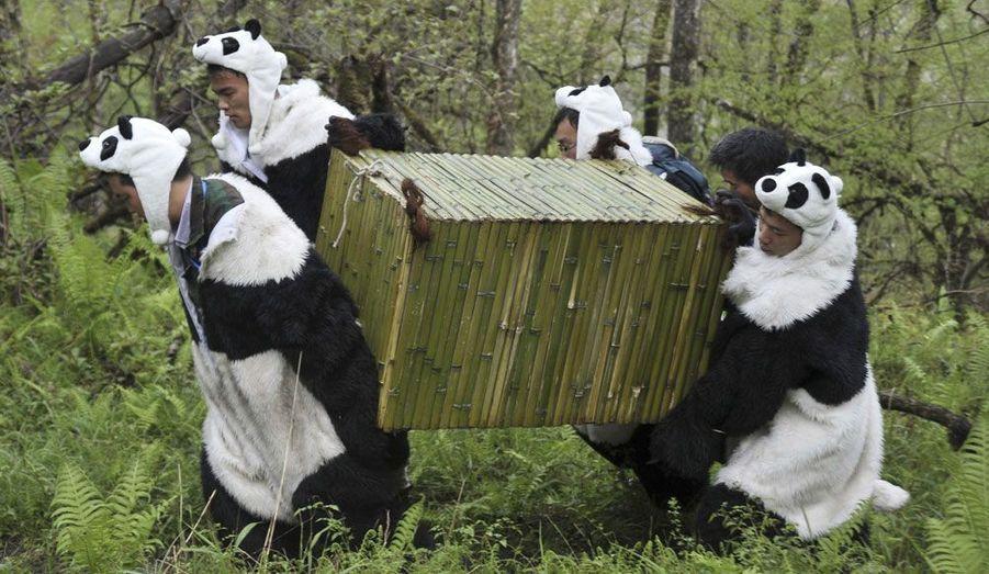 Des chercheurs transfèrent des pandas géants de la forêt chinoise au centre de conservation d'Hetaoping, situé dans la réserve naturelle de Wolong. Tao-Tao et sa mère Cao-Cao vont ainsi découvrir un environnement plus vivant et des terrains plus élevés et escarpés. Ce transfert marque le début de la troisième phase de formation des pandas, avant que l'on puisse définitivement les relâcher dans la nature. Les chercheurs portent des costumes de panda afin de s'assurer que l'environnement de l'ourson est dépourvu de l'influence humaine.