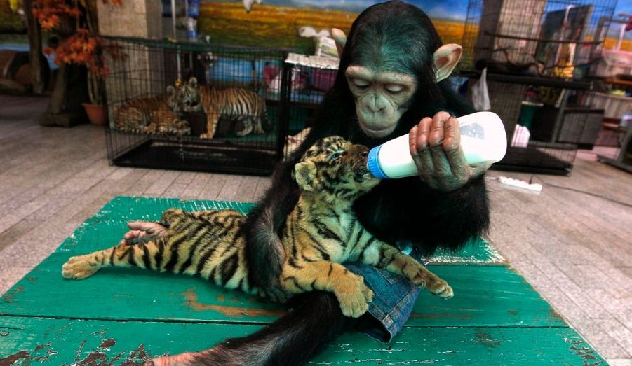 """Do Do"", un chimpanzé de deux ans nourrit son nouvel ami ""Aorn"" un bébé tigre de deux mois, au zoo de Samut Praka, non-loin de Bangkok, en Thaïlande."
