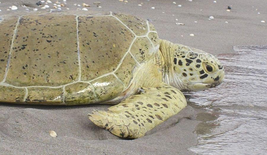 Andre, une tortue de mer verte, a été rendue à l'océan à Juno Beach, en Floride, après avoir été soignée pendant des mois. L'animal de 85 kg avait été grièvement blessé par les pales d'une hélice.