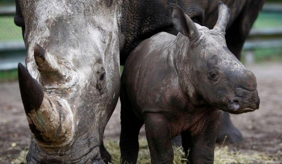 La petite Géraldine se repose avec sa maman Claudia, dans le parc «Serengeti Safari», dans le village d'Hodenhagen, dans le nord de l'Allemagne. Ce bébé femelle rhinocéros vient de fêter ses deux mois.