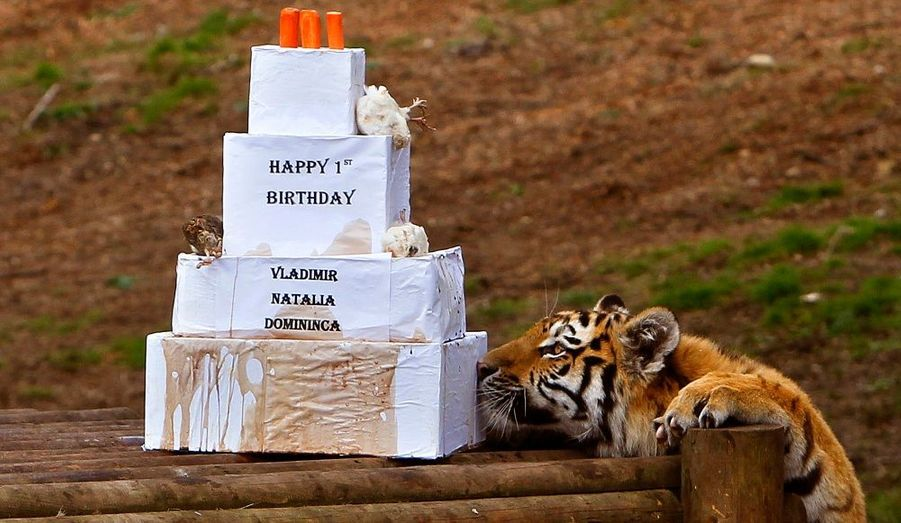 Natalia, recevant un gâteau pour fêter sa première année passée au Highland Wildlife Park, en Ecosse. Avec Vladimir et Domininca, Natalia est l'un des derniers tigres de l'Amour aussi appelés tigres de Sibérie, espèce en voie de disparition.