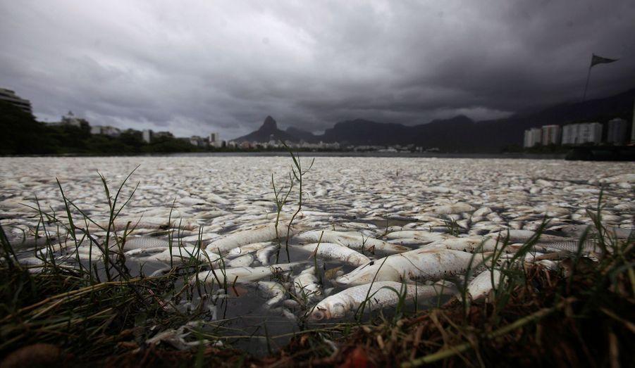 Environ 65 tonnes de poissons morts à cause de la pollution ont été repêchés du lacRodrigo de Freitas, à Rio de Janeiro. C'est ici que se dérouleront les compétitions d'aviron aux Jeux olympiques de 2016.