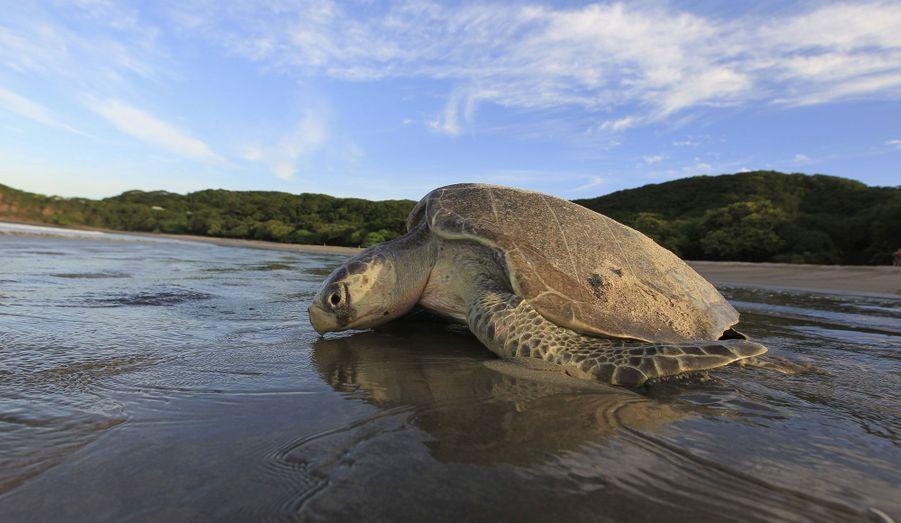 """Une tortue olivâtre retourne dans son élément naturel, après être restée dans le refuge """"La Flor Wildlife"""", au Nicaragua."""