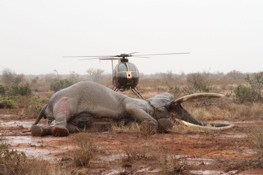 Des braconniers ont lancé un projectile empoisonné à l'éléphant