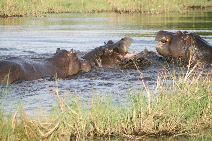 Une scène incroyable immortalisé par un guide du parc Seba au Botswana: une mère hippopotame sauve son bébé des défenses de deux de ses congénères. Une séquence d'une férocité inouïe à l'heureux dénouement: le lendemain Joe Molekoa a revu la mère et son bébé, barbotant dans le delta Okovango.