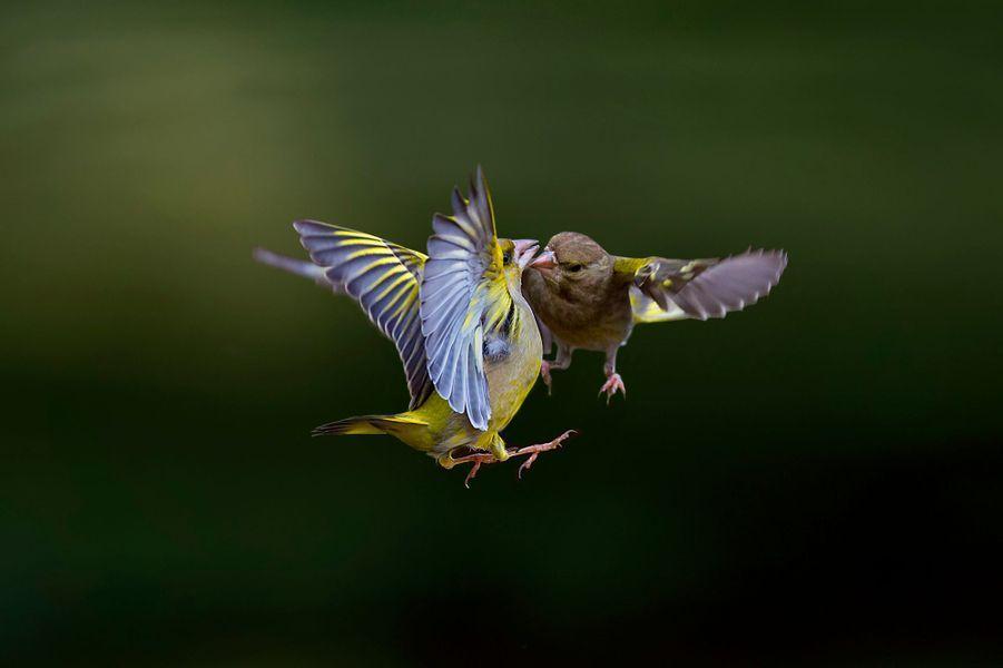 "Les ""Angry Birds"" d'Italie"
