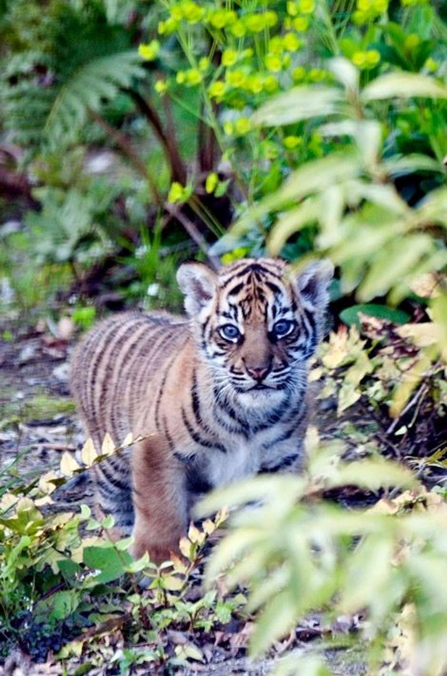Mais où est bébé-tigre?