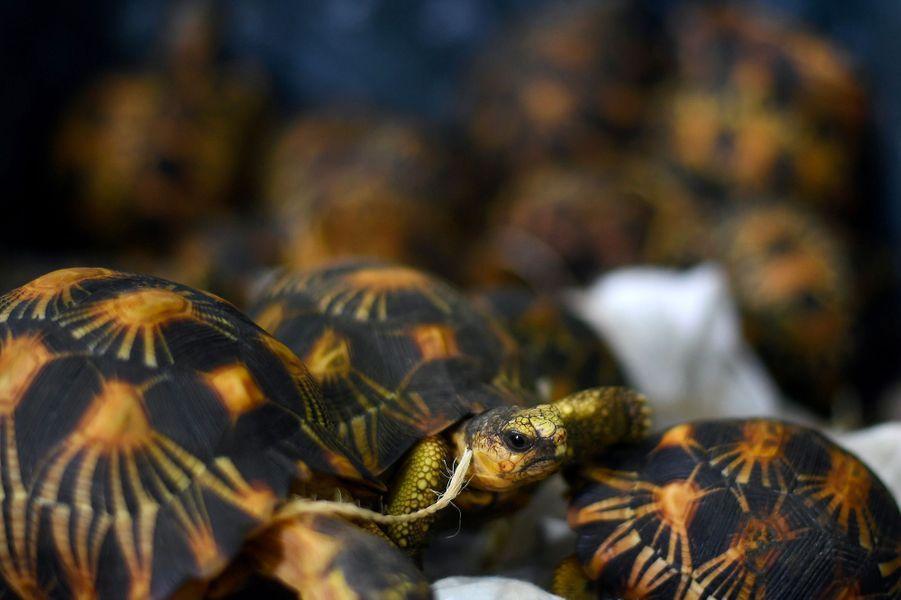 Les tortues étaient peut-être destinées au marché local deKuala Lumpur.
