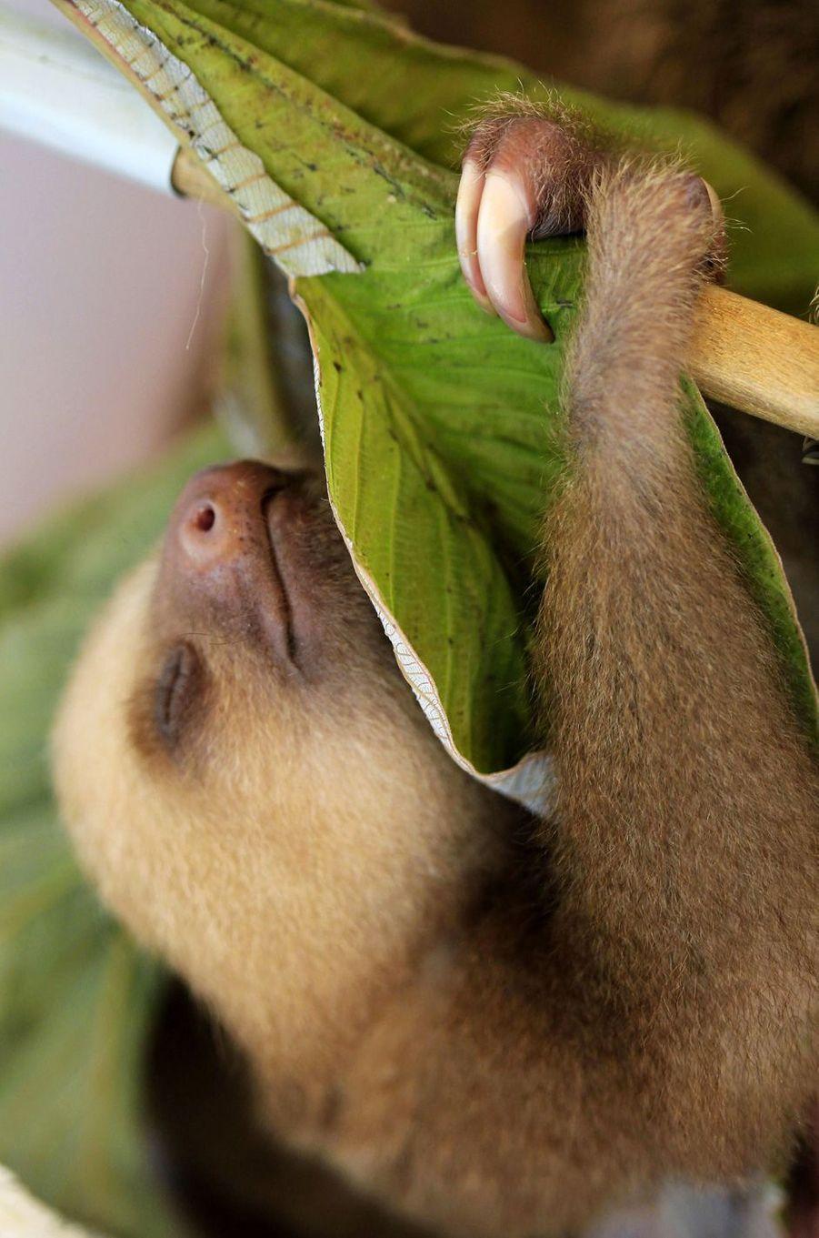 Bébé paresseux auSloth Sanctuary, au Costa Rica.