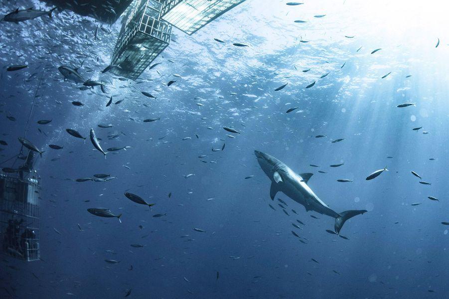 Le requin blanc immortalisé par John Maher.