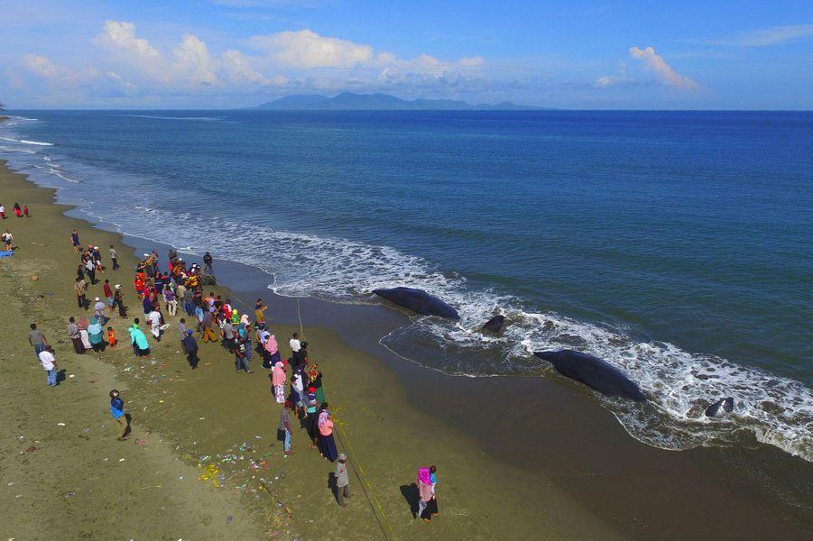 Des secouristes avaient réussi lundi à remettre à flot cinq cétacés échoués sur la plage d'Ujong Kruen, en Indonésie.