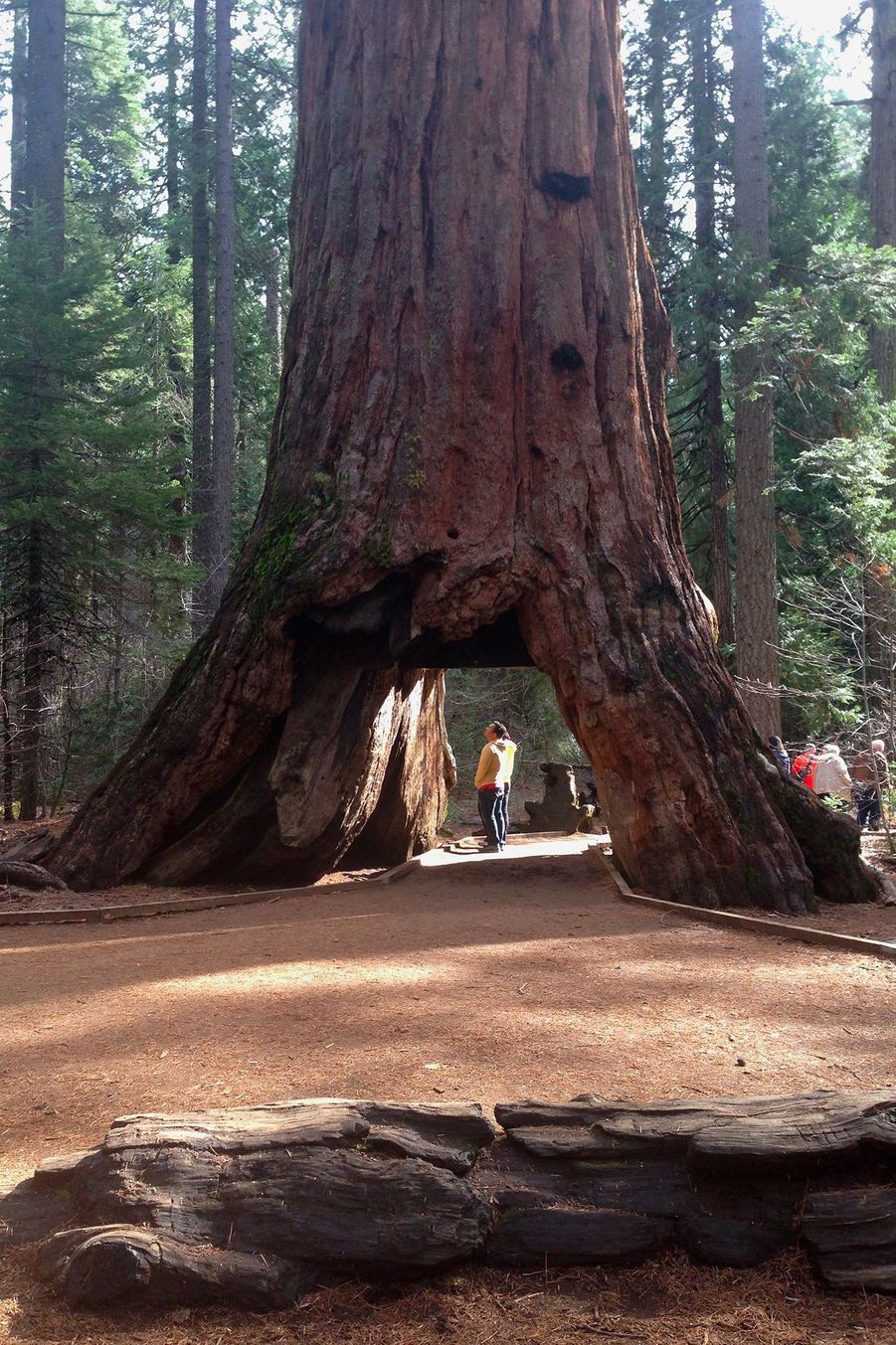 Le Pioneer Cabin Tree en 2015
