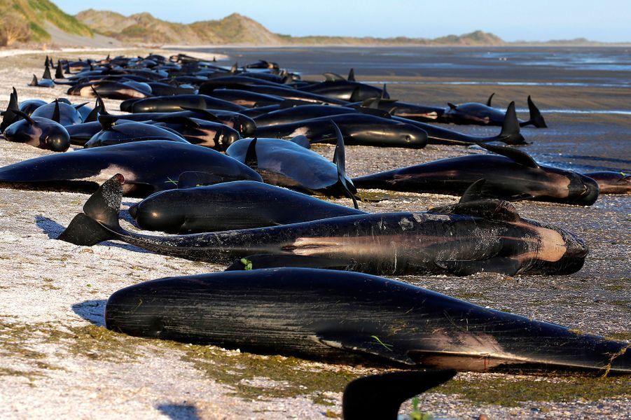 Les baleines échouées à perte de vue