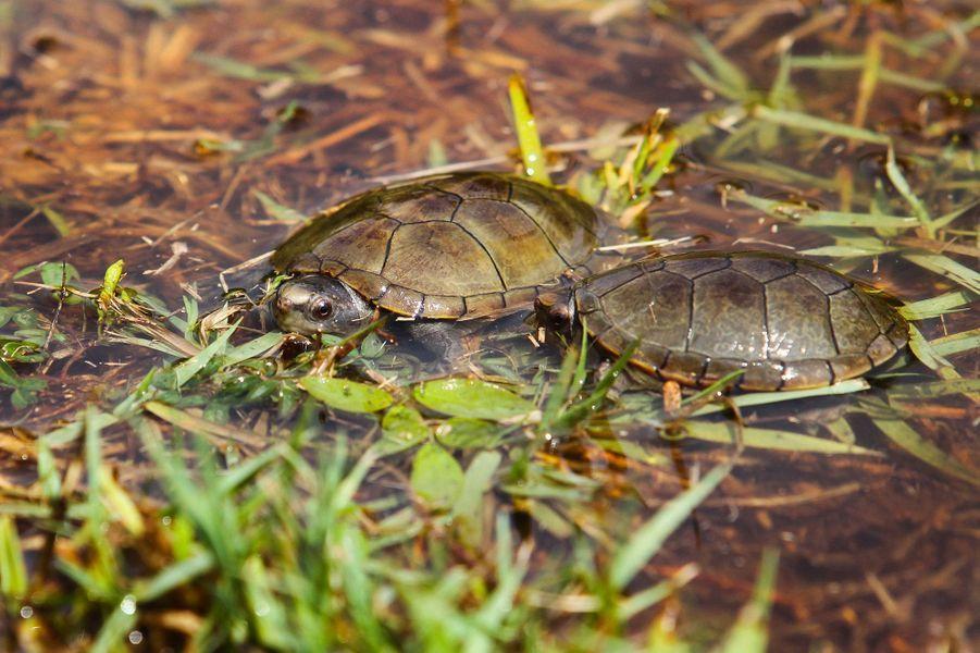 "La tortue ""Kinosternon vogti"" vit au Mexique."