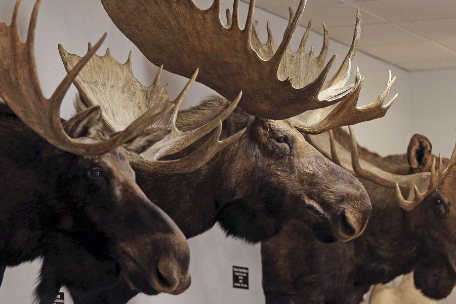 Trophées de bisons