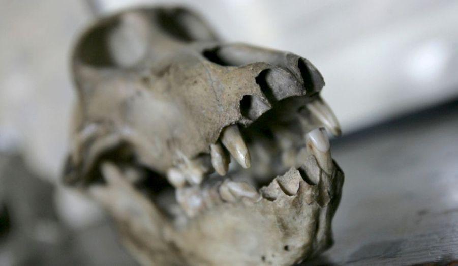 A l'occasion du bicentenaire de la naissance de Charles Darwin, un crâne de primate est présenté dans sa propriété de Down House, dans le Kent. Le naturaliste anglais, auteur de L'origine des espèces, est célébré dans le monde entier pour être l'inventeur de la théorie de l'évolution.