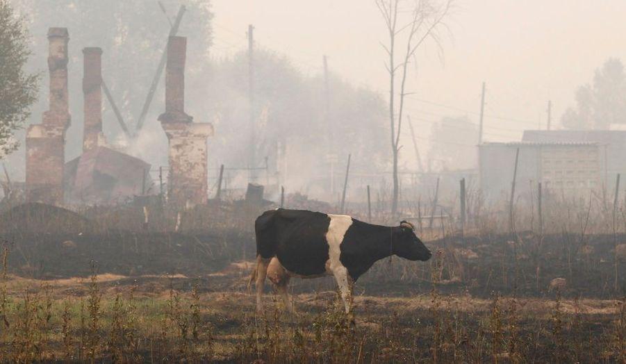 Une vache dans les cendres